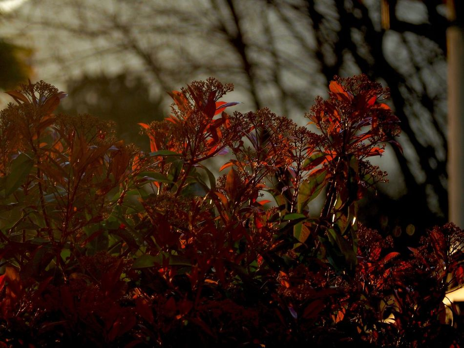Beauty In Nature Close-up Day Growth Leaf Nature No People Outdoors Plant Red Tree