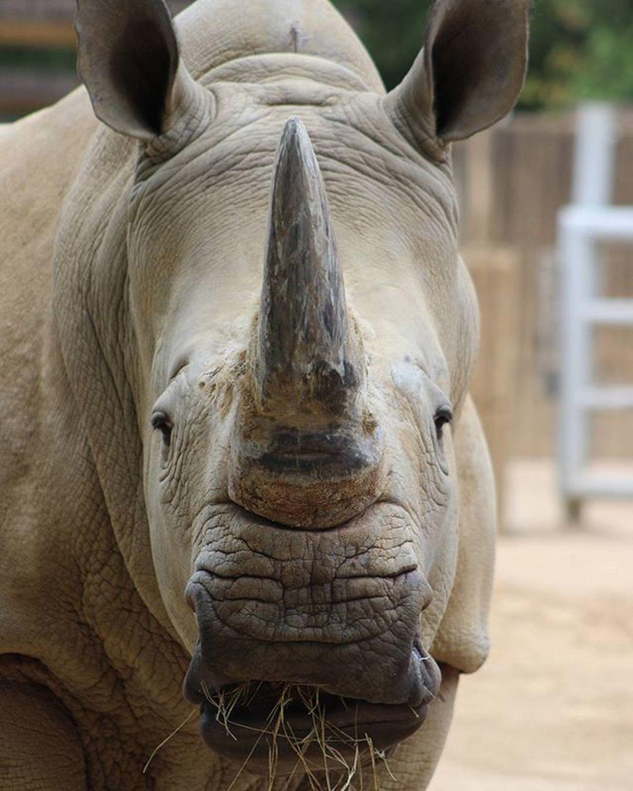 Savetherhino WhiteRhino Wildlife Wildlifephotography MemphisZoo Renoster