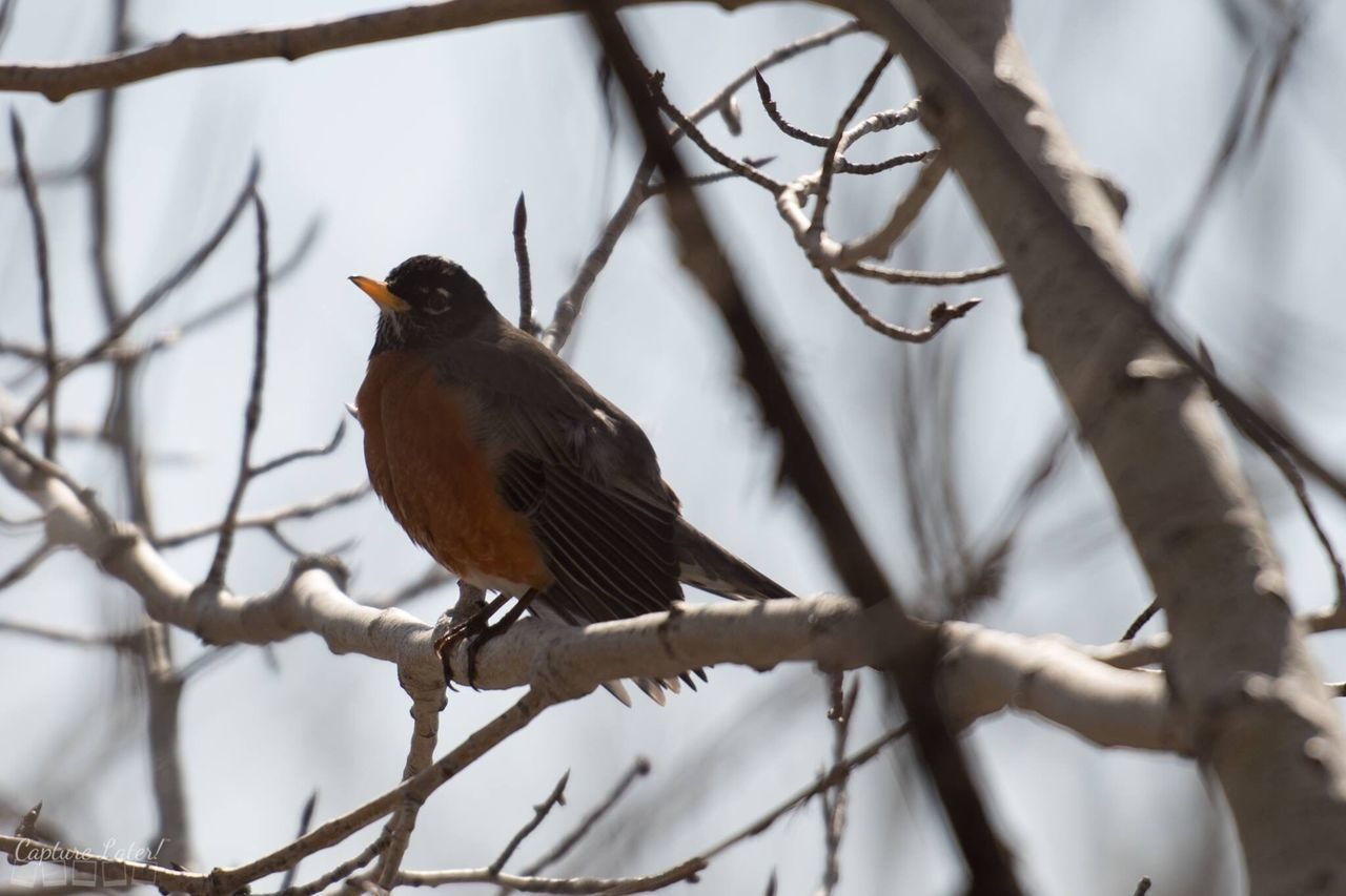 Bird Perching Branch One Animal Animal Wildlife Animals In The Wild Bare Tree Tree Animal Themes Nature Robin No People Outdoors Day Beauty In Nature