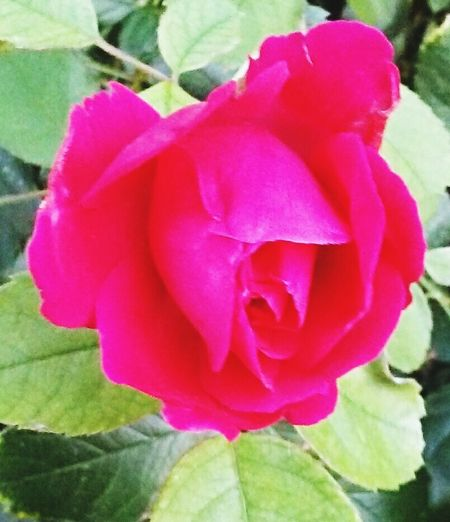 Color Of Life Rosebud Check This Out Pink Rose Nature Leaves Love Photography Love Nature Nature Lover