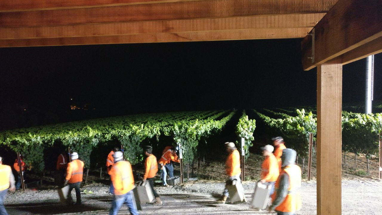 Harvest17 Harvesting Harvest Time California Sonoma County Sonoma Wine Country Grapes 🍇 Chardonnay Night Light Look Like Is Day