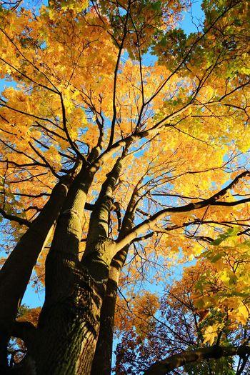 Autumn,tree Season  Yellow Beauty In Nature Nature Sky