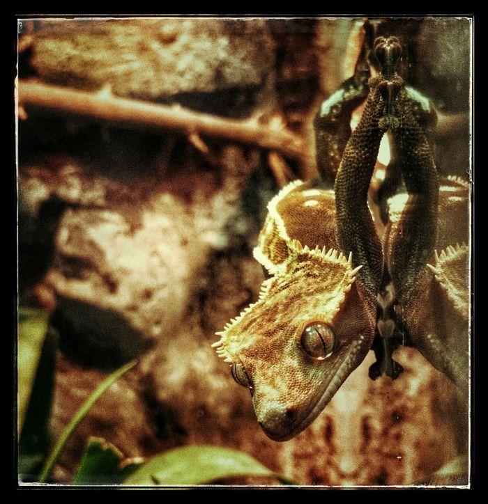 Crested Gecko Kronengecko Gekko Gecko Haustier Pets Neukaledonien