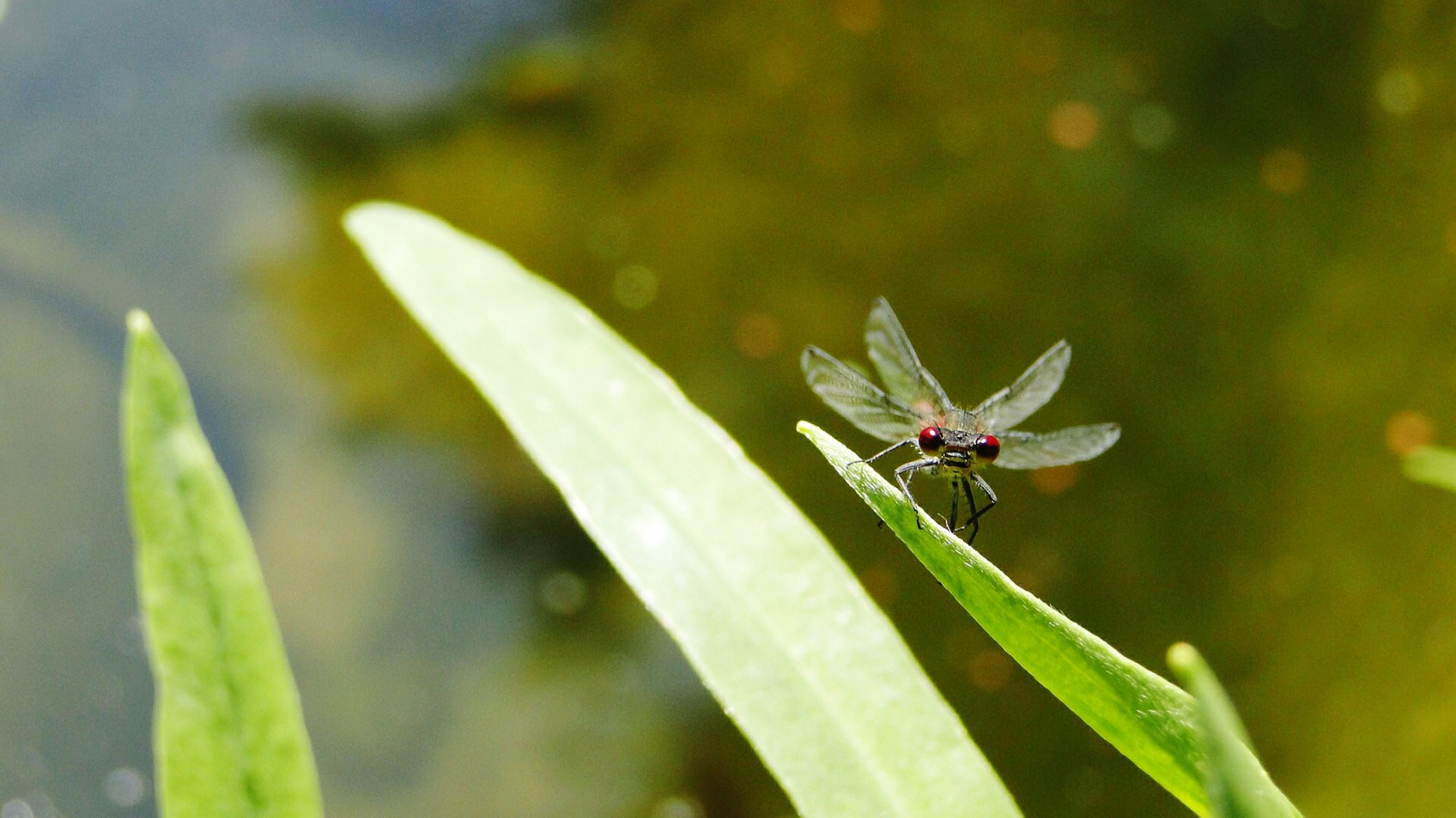 insect, one animal, animals in the wild, animal themes, wildlife, close-up, focus on foreground, plant, leaf, green color, nature, selective focus, day, growth, dragonfly, outdoors, no people, flower, beauty in nature, animal wing