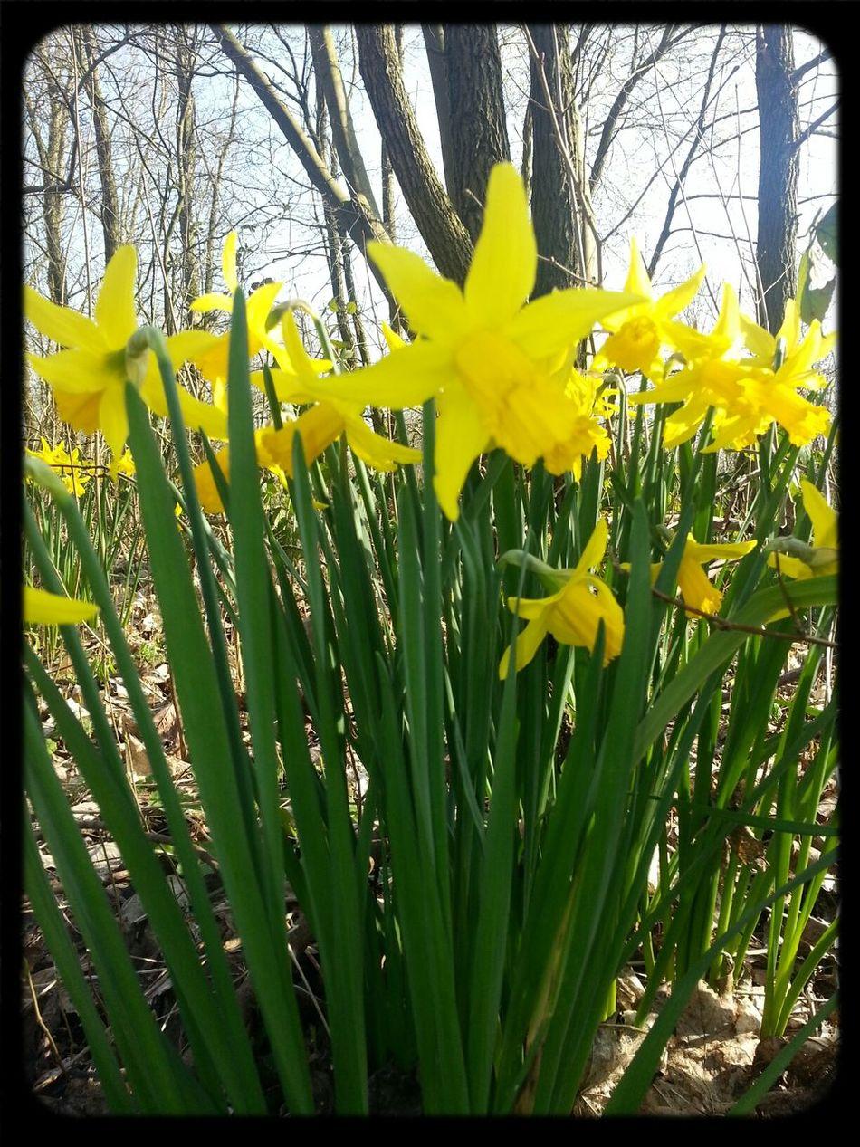 Daffodils Spring!