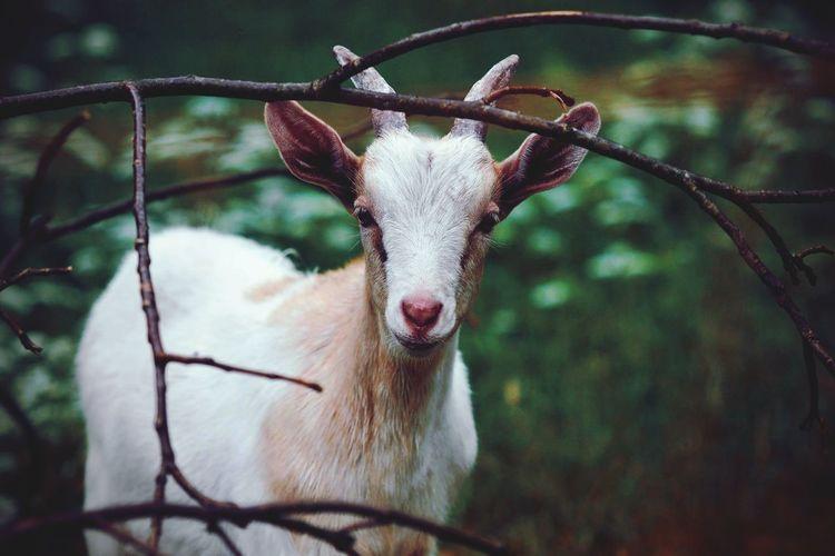 Goat Goat Farm Farm Farm Animals Farmlife Goat Photography Animal Animal Photography