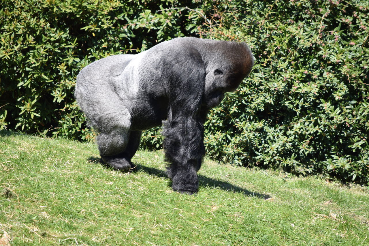 gorilla Animal Themes Beauval Day Domestic Animals Female Field Gorilla Gorille Grass Green Growth Male Mammal Monkey Nature No People One Animal Outdoors Pets Plant Power Primate Strong Tree Zoo