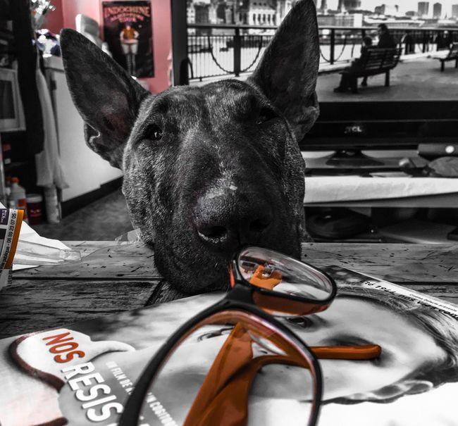 Bullterrier Dog Bullterrier Love Mydogsarecoolerthanyourkids Blackandwhite Dogs