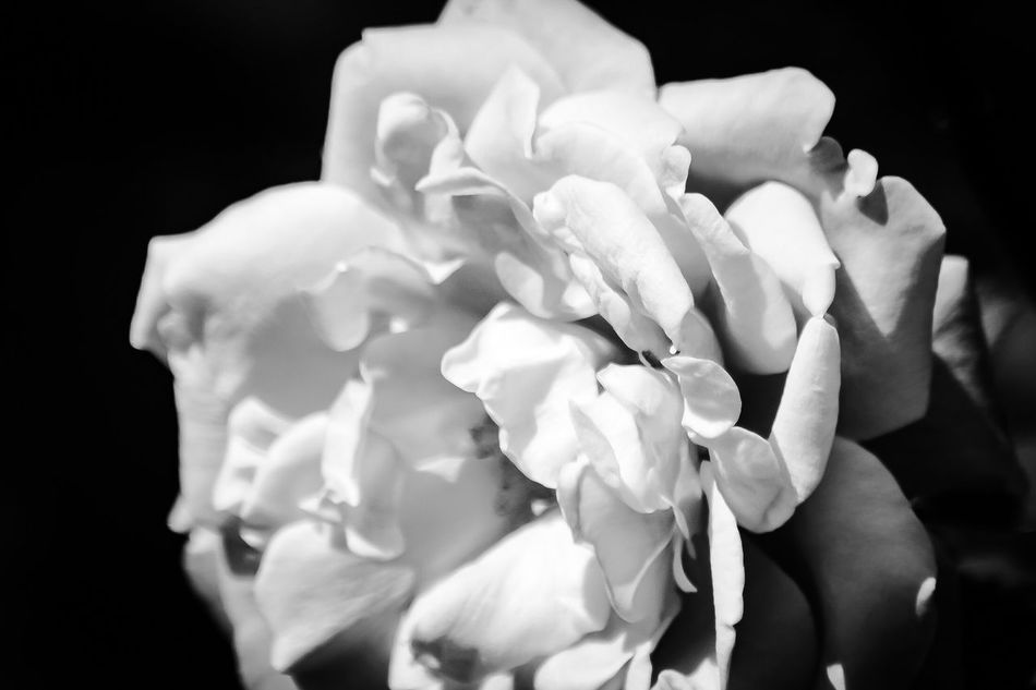 Roses_collection Macro_collection Macro Beauty Macro_flower Flower Collection No People Beauty In Nature Fragility Flower Flowers, Nature And Beauty Flowers,Plants & Garden Petal Black Background Nature Freshness Flower Head Close-up EyeEm Flowers Collection Nature_collection Bridal Flowers Black And White Collection  Black And White Macro Black And White Flower Collection