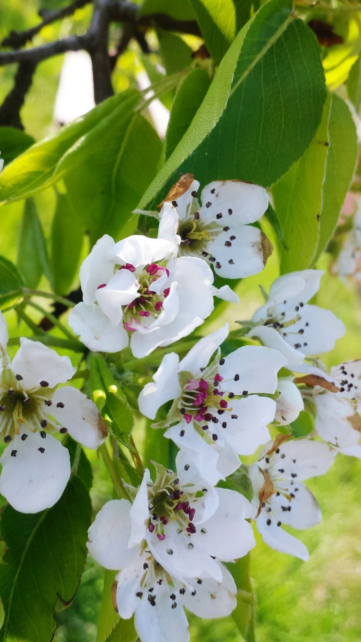 flower, fragility, freshness, growth, beauty in nature, white color, nature, petal, blossom, botany, no people, springtime, close-up, stamen, flower head, apple blossom, day, leaf, outdoors, branch, tree, animal themes