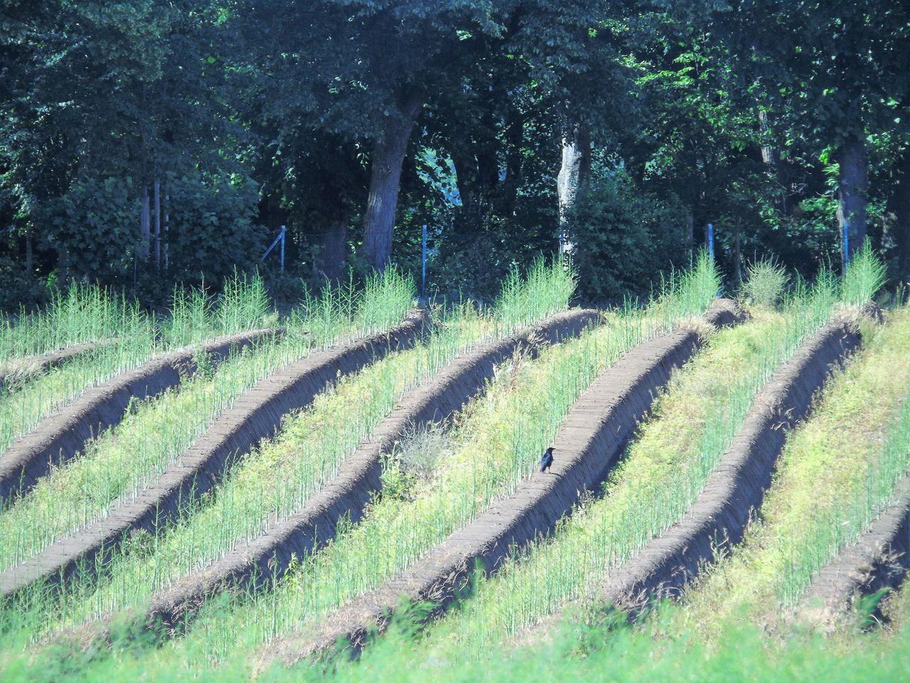 Agriculture Beauty In Nature Day Field Forest Grass Green Color Growth In A Row Landscape My Pont Of View Nature No People Outdoors Plant Rural Scene Scenics Spargelfeld Tranquil Scene Tranquility Tree