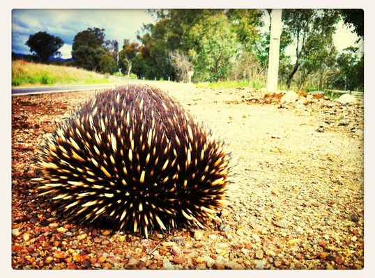 Echidna at Tatong by Ellen