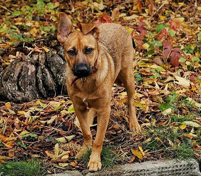 This shot is my favourite of her. Pooch Puppy Dog Pet Animal Alsatian Germanshepherd