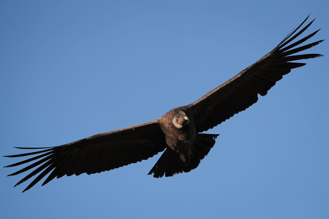 Animal Body Part Animal Themes Animal Wildlife Animals In The Wild Bald Eagle Bird Bird Of Prey Blue Clear Sky Close-up Cóndor  Day Eagle - Bird Flying Mid-air No People One Animal Outdoors Spread Wings