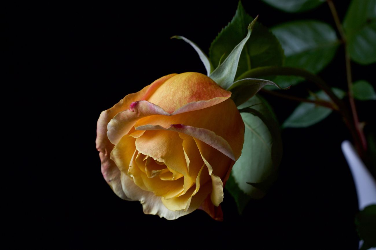 Yellow Rose Petal Fragility Flower Growth No People Black Background Freshness Flower Head Nature Close-up Plant Beauty In Nature Studio Shot Blooming Outdoors Day Rose - Flower Yellow Flower Yellow Rose