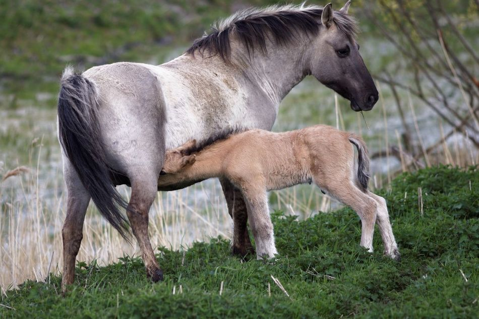Newly Born Konik Horse Animals In The Wild Animal Themes Grass Mammal Side View Domestic Animals Field Nature Livestock No People Young Animal Full Length Togetherness Day Outdoors Foal Pasture Beauty In Nature