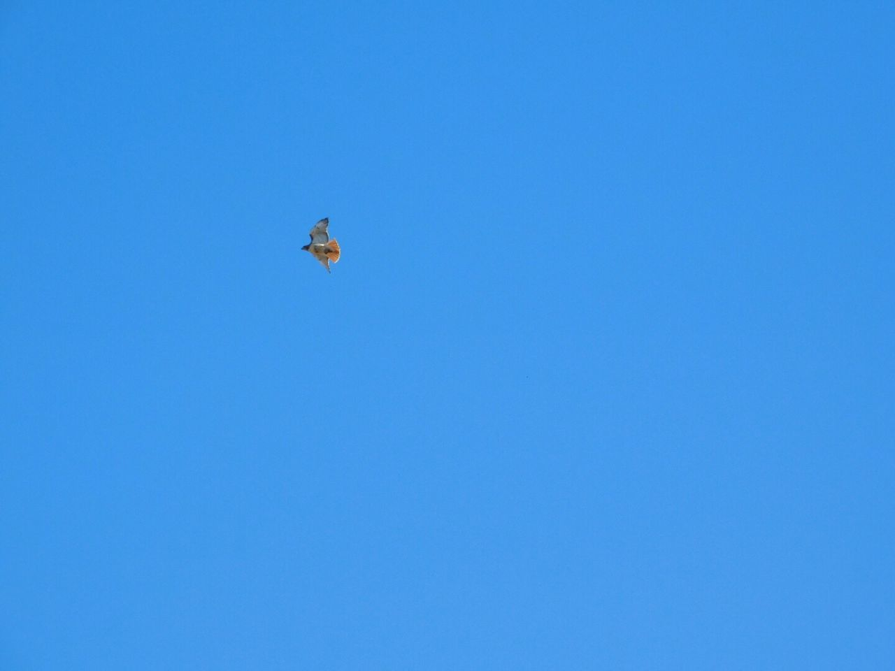 copy space, blue, clear sky, flying, low angle view, mid-air, outdoors, day, one animal, nature, no people, animal themes, bird, spread wings, sky