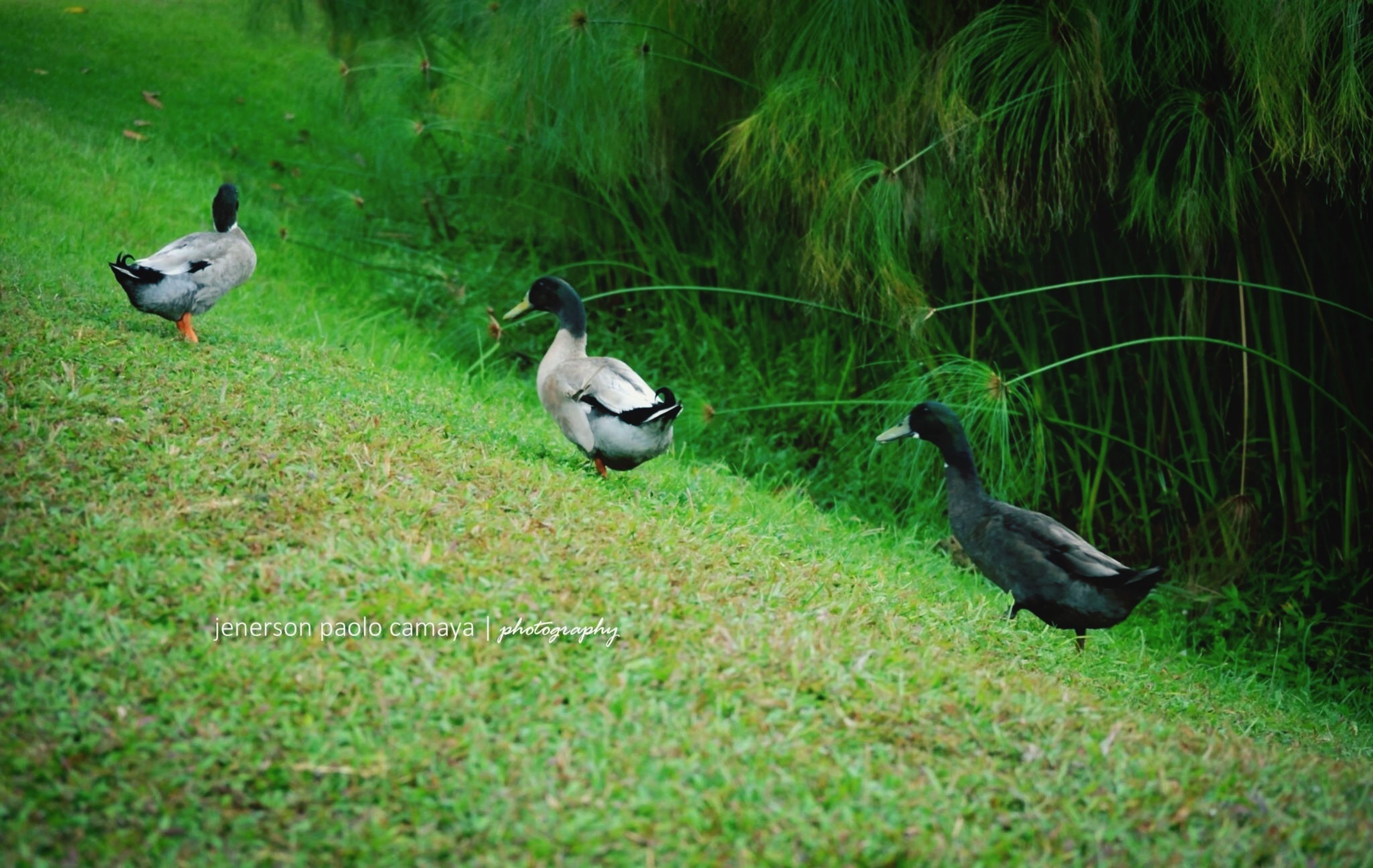 animal themes, animals in the wild, bird, wildlife, grass, green color, nature, two animals, one animal, perching, field, duck, plant, day, outdoors, growth, no people, full length, high angle view, three animals