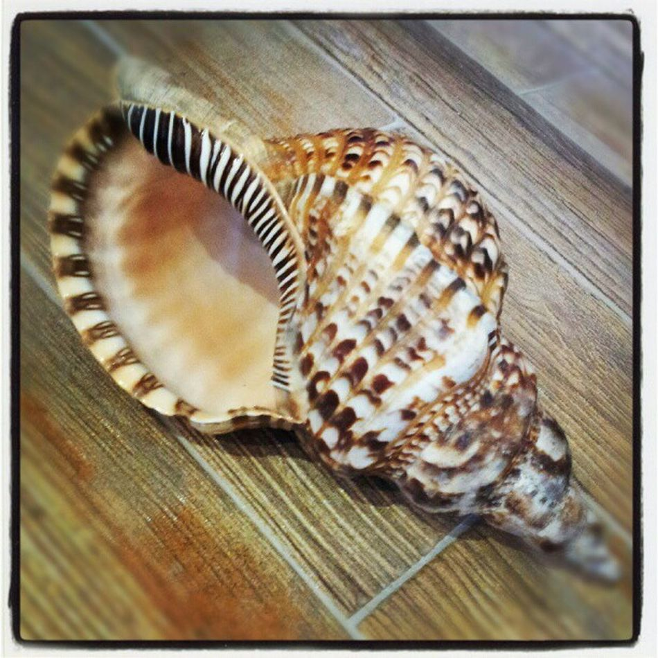 Trumpet Conchshell Shell Shelling Iheartshelling seacreature unique niceone picoftheday seatreasure treasures