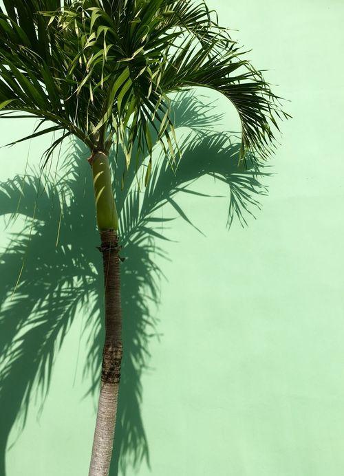 Cuba 2015 Cuba Varadero Palm Trees Palms Shadow Light And Shadow Shadows Creative Light And Shadow Green Green Green Green!  Pastel Colors Pastel Power Market Bestsellers 2017
