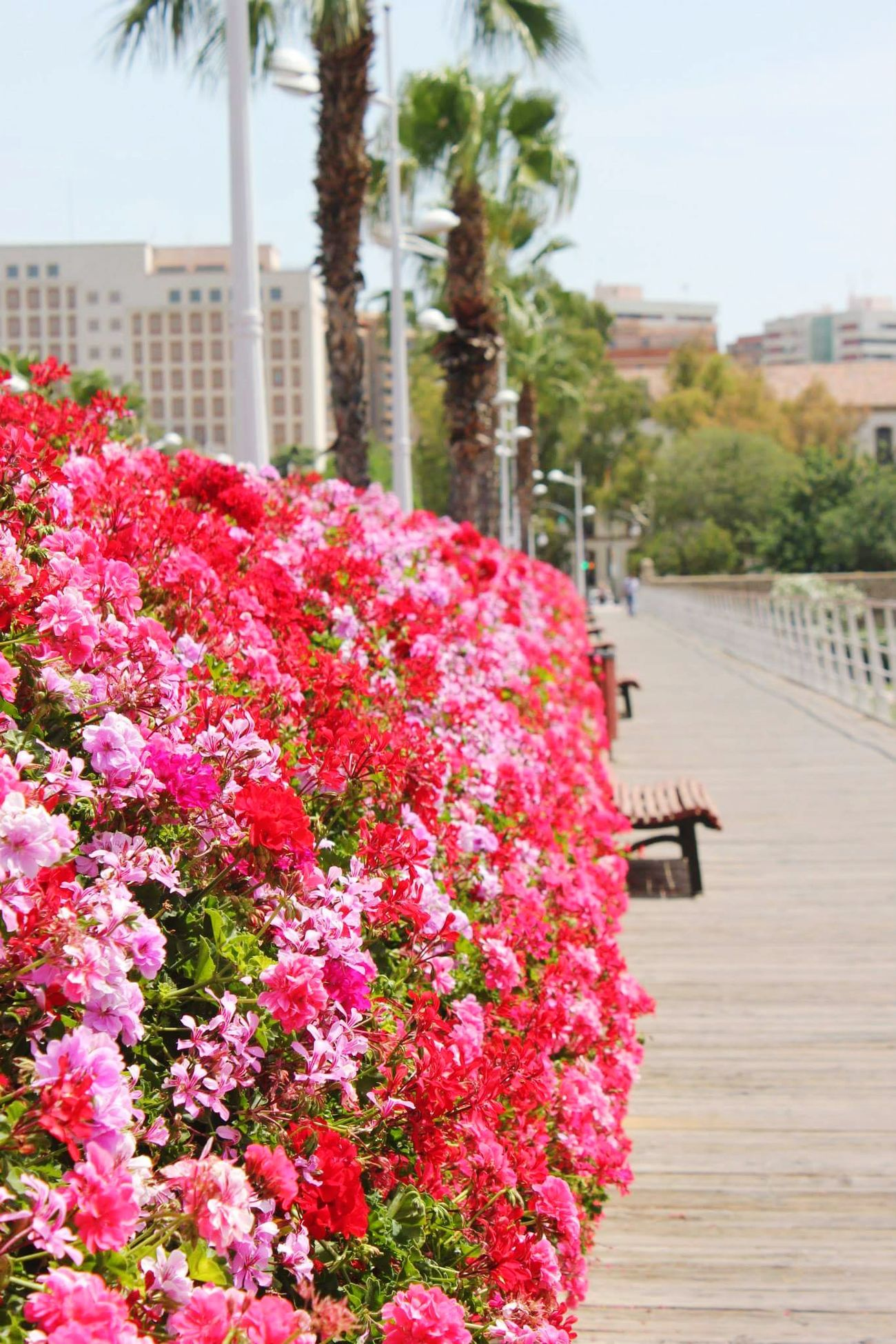 Valencia, Spain Valencia City SPAIN Spain ✈️🇪🇸 Holiday Colors Colorful Pink Color Flowers Flower Nature Throwback Beauty In Nature Flower Photography