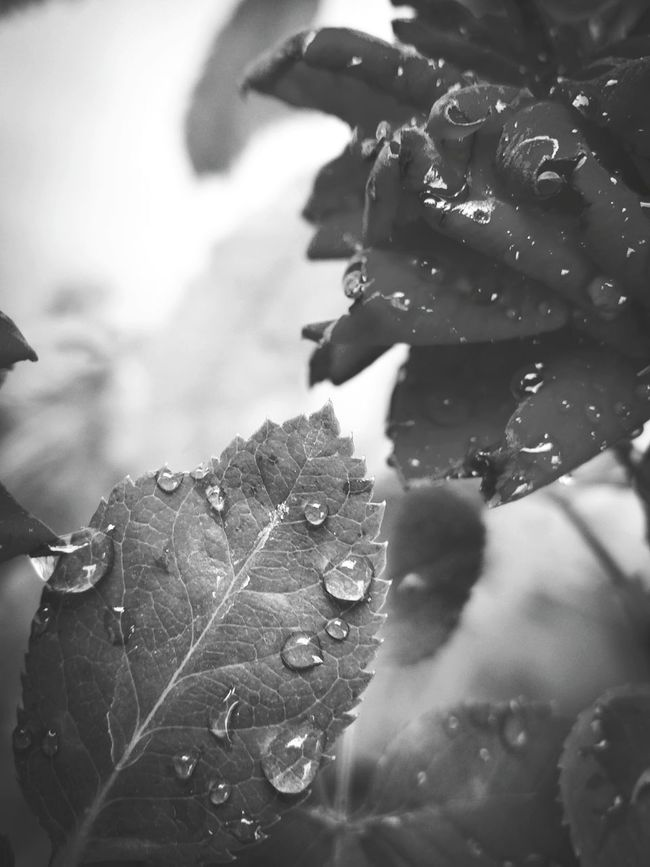 Black & White Blackandwhitephotography Aiikos Black.n.white Drops Bnw Aiikos Rain.drops Black And White Photography Flower Porn Flowerporn Flowers Waterdrops Monochrome Leaf 🍂 Leafporn Leaf Water Drops Blackandwhite Photography Black&white @aiiko Rain Drops Blackandwhite For You ;-) Aiikos Garden Flower Collection m Macro Beauty