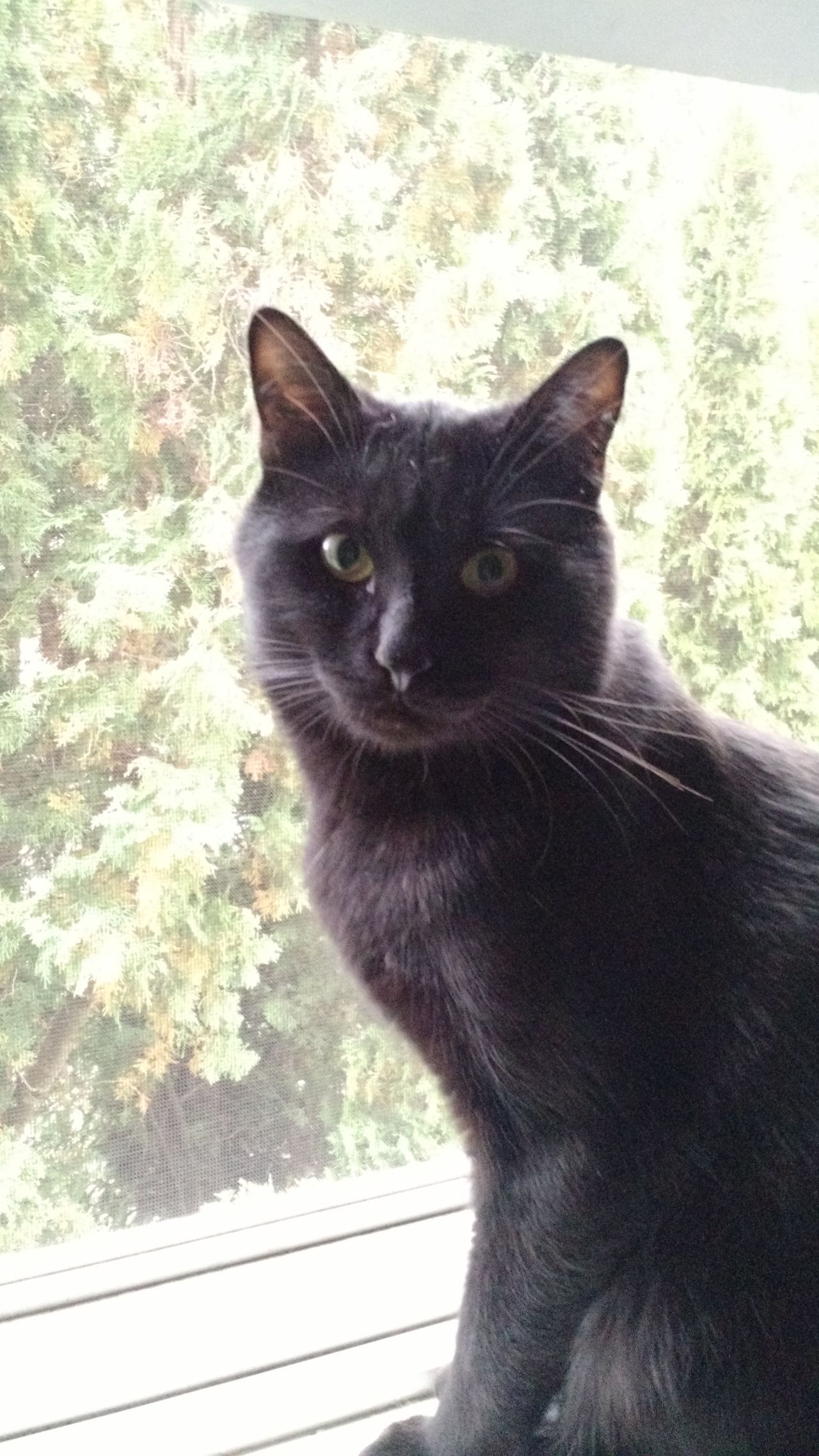 Domestic Animals Domestic Cat Pets Animal Themes Mammal One Animal Looking At Camera Window Portrait Feline Close-up Black Color Day No People Cat Indoors  Siamese Cat Black Cats Are Beautiful