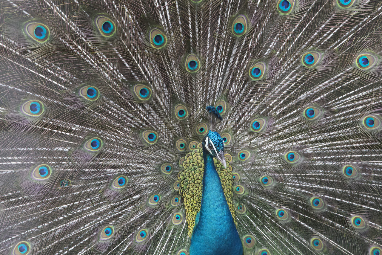 Animal Themes Animal Wildlife Animals In The Wild Beauty Beauty In Nature Bird Close-up Day Fanned Out Feather  Front View Multi Colored Nature No People One Animal Outdoors Peacock Peacock Feather Portrait Burung Merak Pigeon Pigeon Bird  Crowned Pigeon