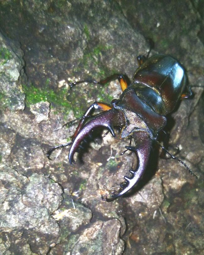 Stagbeetle Insect Bug TheWeekOnEyeEM Taking Photos Approach Nature Discover  Woodscapes Japan 虫 クワガタ