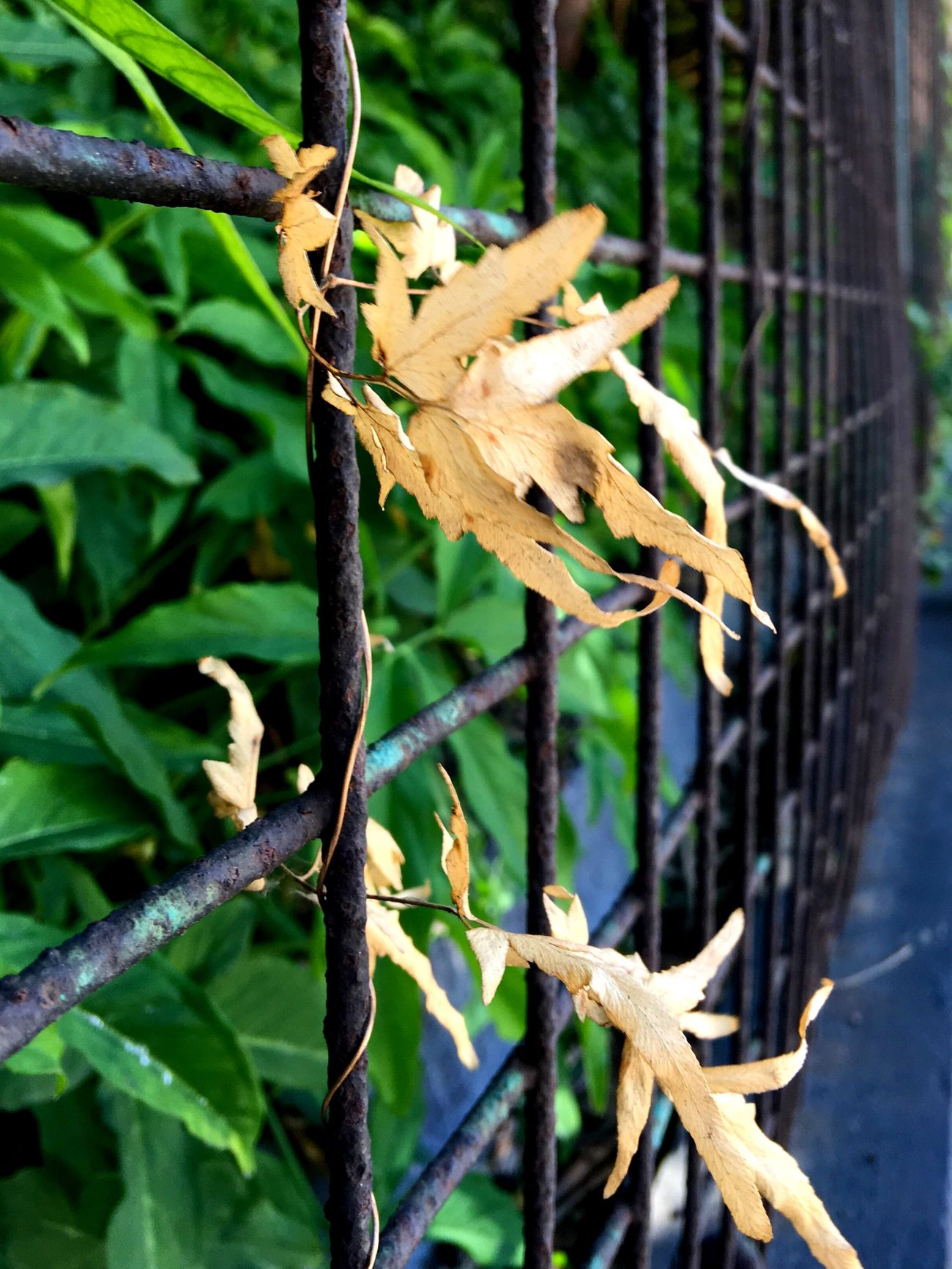 Light And Shadow IPhoneography Steel Fence Flowers, Nature And Beauty Street Photographer-2016 Eyem Awards Green Leaves Sun And Shadow Sunlight, Shades And Shadows