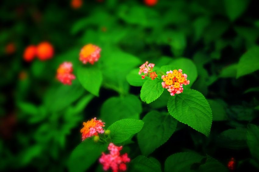 Flower Growth Green Color Beauty In Nature Plant Leaf Fragility Freshness Flower Head Blooming Nature Petal No People Lantana Camara Outdoors Day Close-up Zinnia
