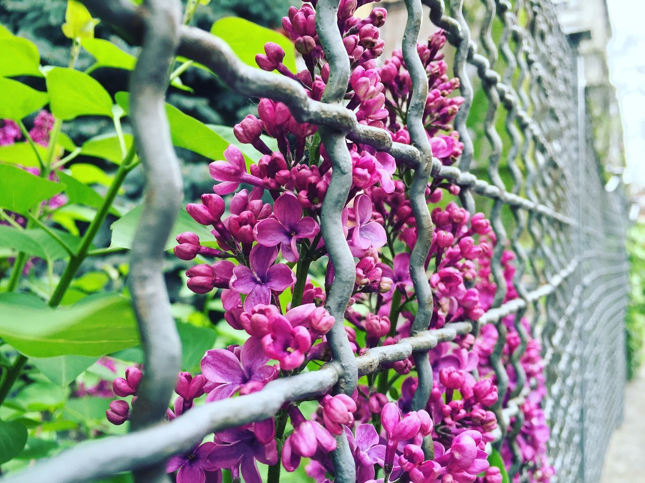 growth, plant, nature, purple, outdoors, day, no people, flower, freshness, beauty in nature, fruit, fragility, close-up