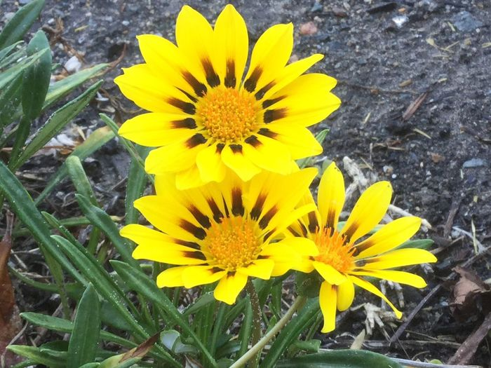 Yellow Flower Beauty In Nature Flower Head Close-up Beauty In Nature From My Point Of View Check This Out Outdoors Plant