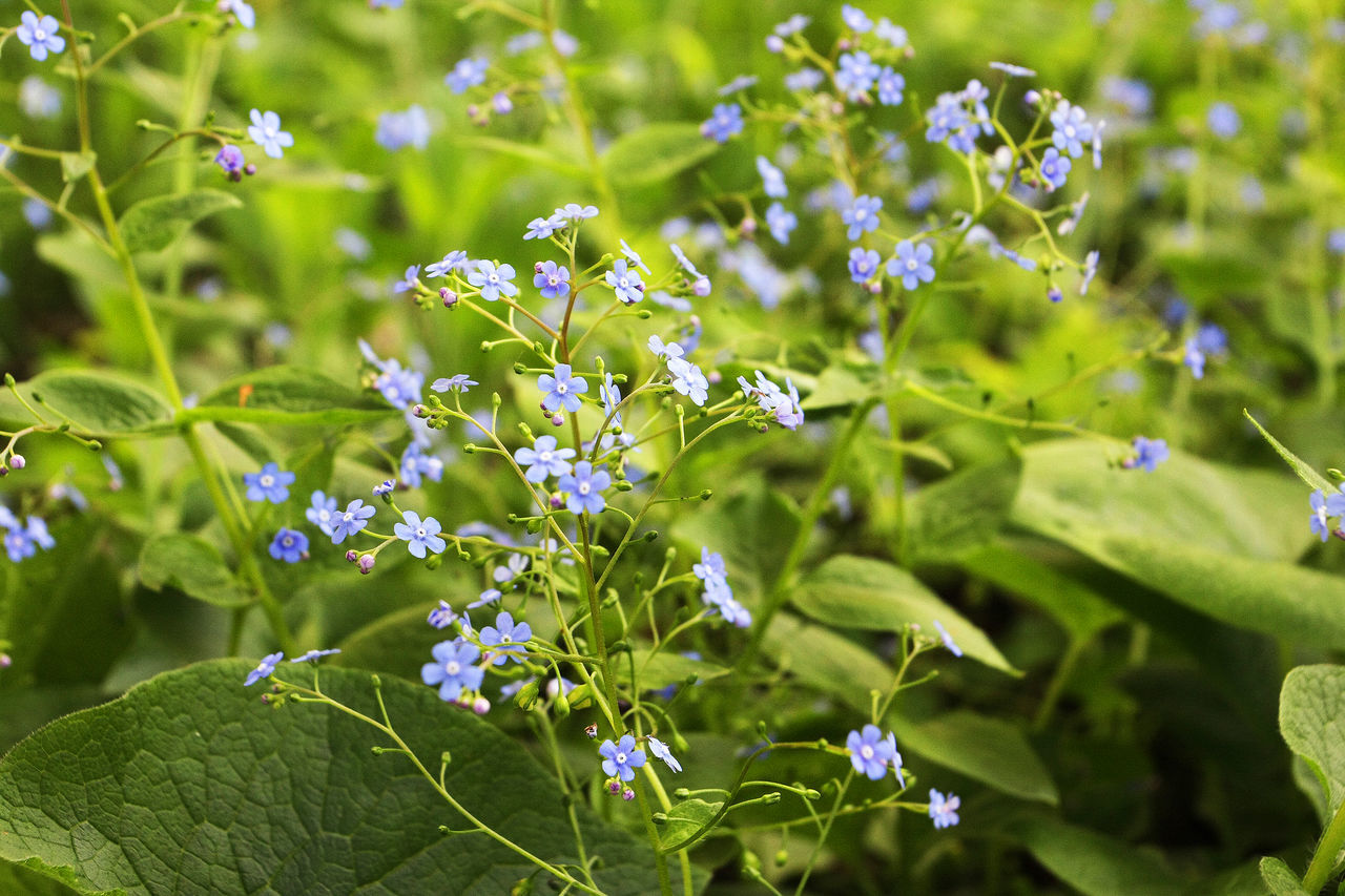 Forger me not flower Beauty In Nature Blossom Blue Botany Close-up Flower Flower Head Forget Me Not Fragility Freshness Green Color Growth In Bloom Nature Outdoors Petal Plant Springtime