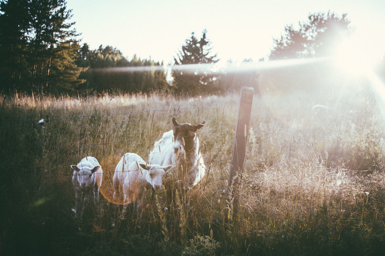 grass, nature, animal themes, field, no people, outdoors, mammal, tree, domestic animals, day, beauty in nature, landscape, sky