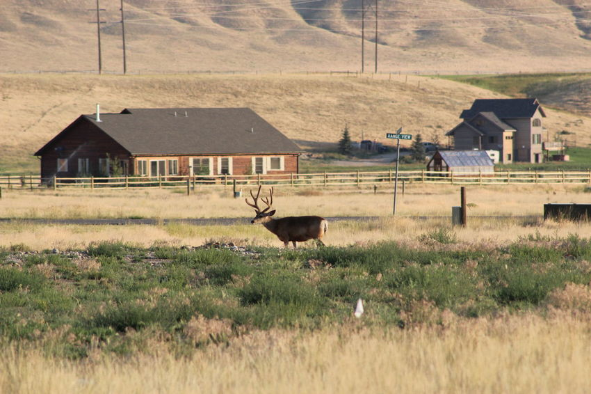 House Built Structure Building Exterior Architecture Rural Scene Field Outdoors Nature Grass Montana Deer Field Telephoto Animal Wildlife Buck Velvet Antlers Wild Animals In The City Streetsign Woodfence in Ennis, MT. nice buck.