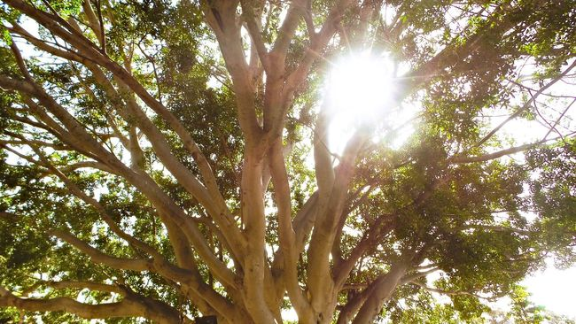 Tree Low Angle View Tree Trunk Growth Branch Sunlight Sun Sunbeam Nature Tranquility Beauty In Nature Bright Sunny Scenics Day Outdoors Lens Flare Green Color Streaming Sky