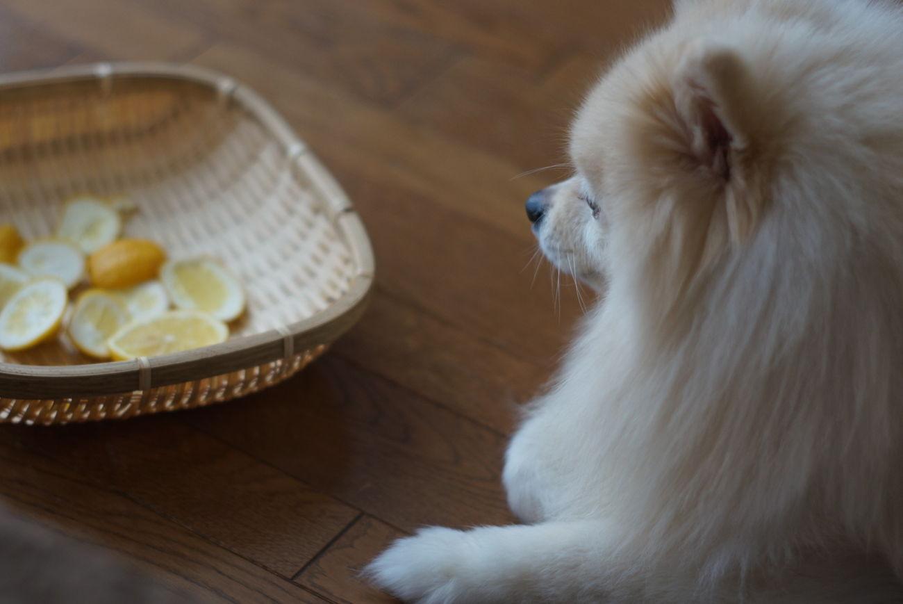 Mylovelydog ポメラニアン EyeEm Dogs Pomeranian Pets Oldlens Nofilter Lemon