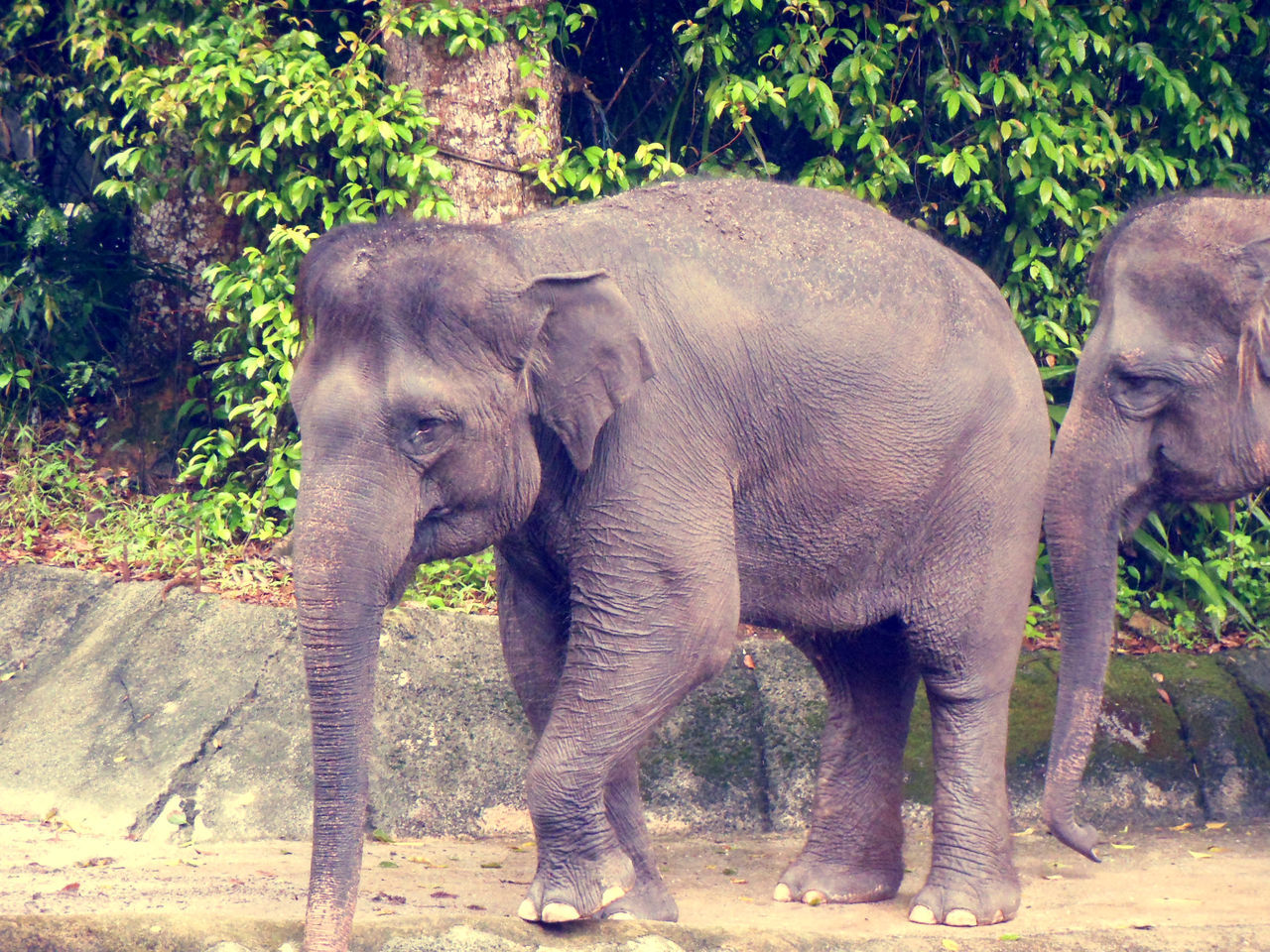 Animal Animal Themes Animal Wildlife Animals In The Wild DUMBO Elephant Indian Elephant Mammal Singapore Zoological Garden Togetherness Young Animal
