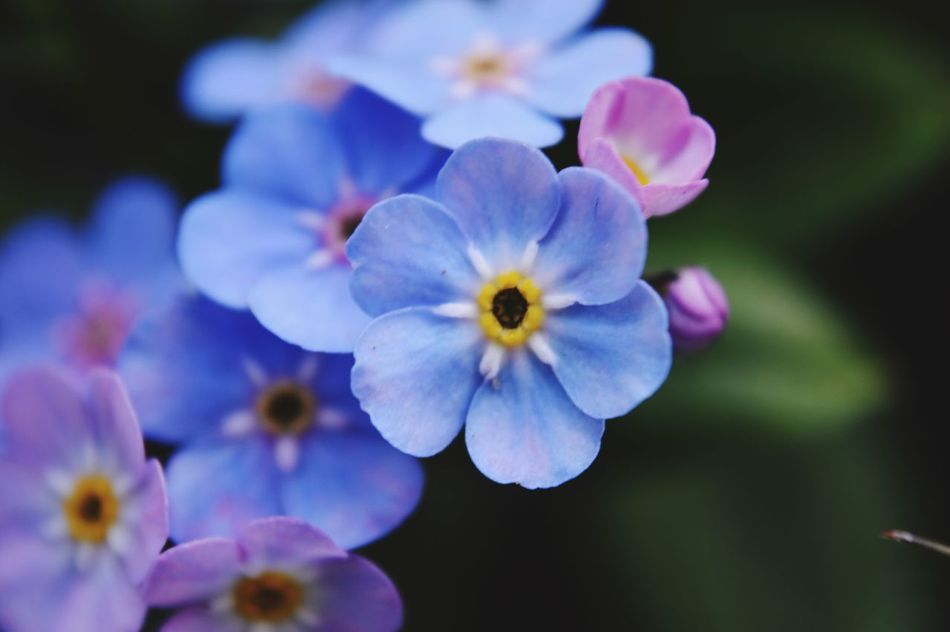 Flower Petal Beauty In Nature Fragility Growth Nature Flower Head Freshness Focus On Foreground Close-up Blooming No People Plant Outdoors Day Springtime Forget Me Not Macro