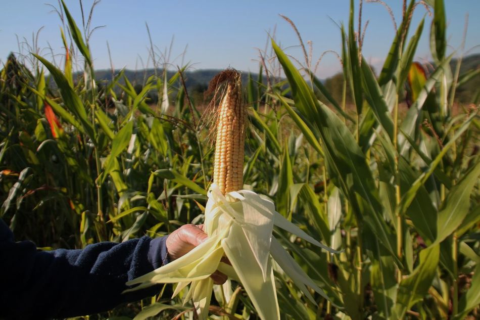 Growth Cereal Plant Plant Agriculture Nature Field Beauty In Nature Outdoors One Person Close-up Day Wheat Ear Of Wheat Sky Cactus People Black Forest Germany Schwarzwald Femalephotographer Alternative Energy Müllheim Mais Maiskolben