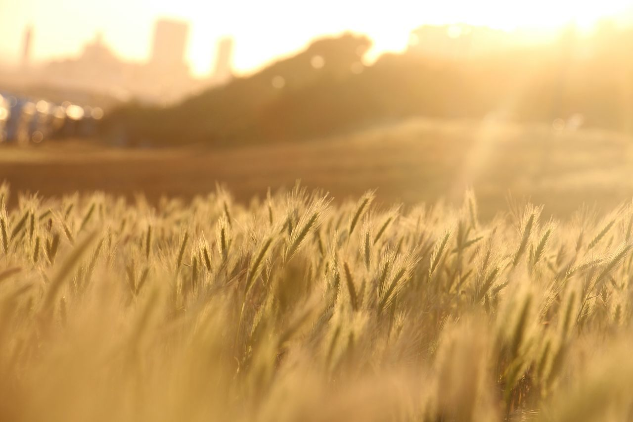"""""""Blé au vent"""" Let the sun unter in you'r lens and beautify your pictures ! Creative Light And Shadow Silhouette Sunset Sun_collection Eye4photography  Light And Shadow EyeEm Best Shots Beautiful Nature Landscape Golden Moment Wheat Field Wheat Orange Color No People Close-up"""