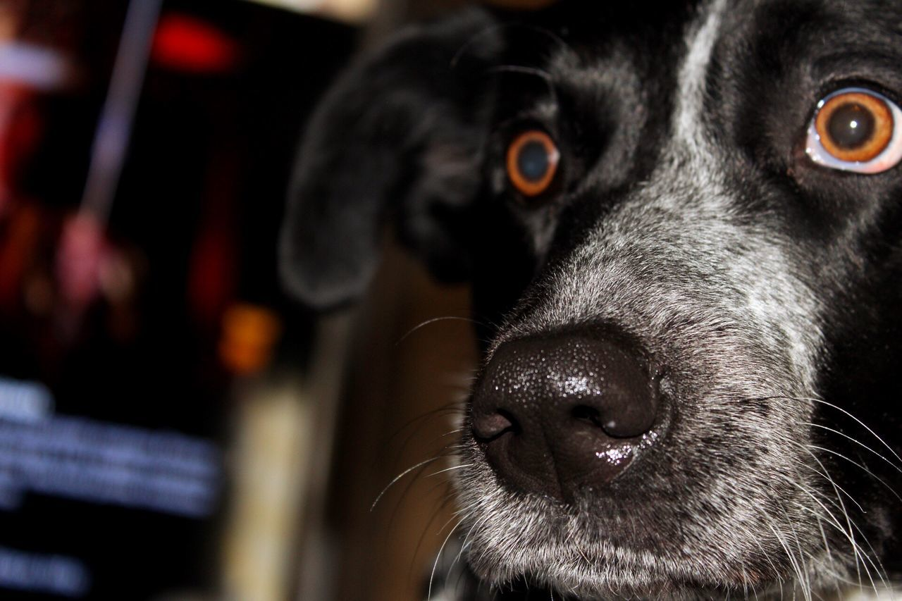 Pets Domestic Animals Dog Animal Themes Mammal One Animal Close-up Animal Head  Black Color No People Portrait Snout Animal Eye Animal Nose Indoors  Border Collie Blue Heeler Day