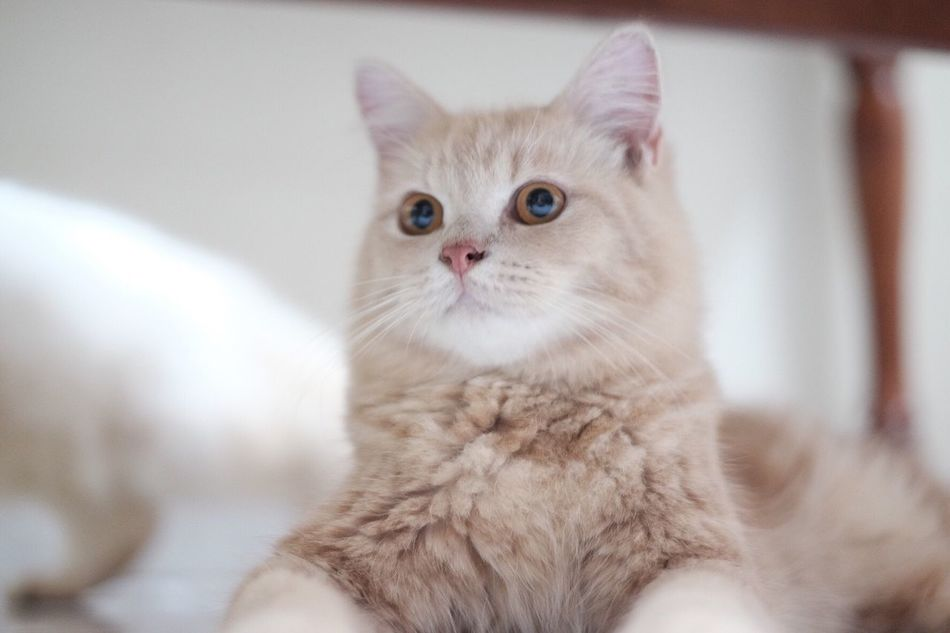 Kucing (cat) Domestic Cat Pets Feline Indoors  Domestic Animals Mammal Animal Themes One Animal Looking At Camera Home Interior Portrait Sitting No People Close-up Persian Cat  Day