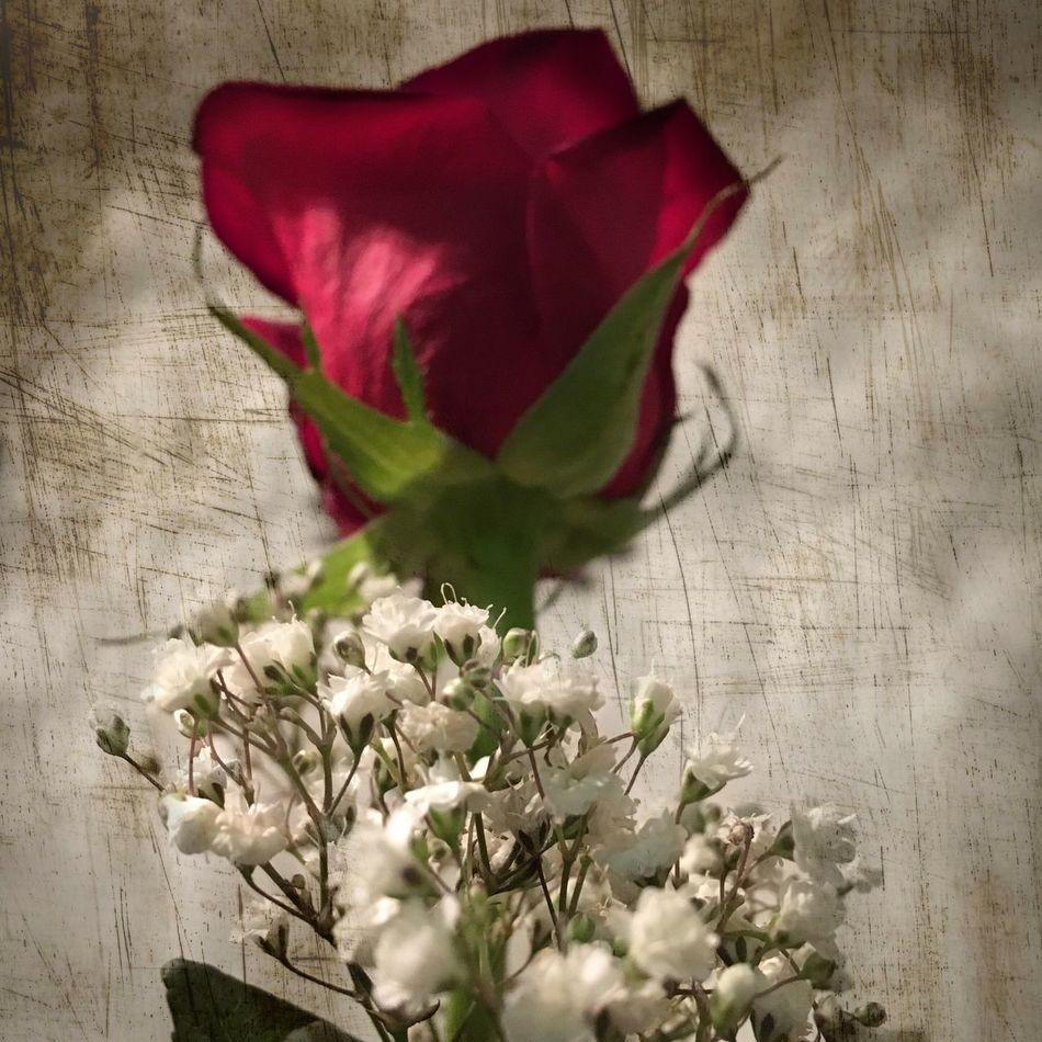 Rose🌹 Babysbreath Flowers Bloodflowers 🌹🌹🌹