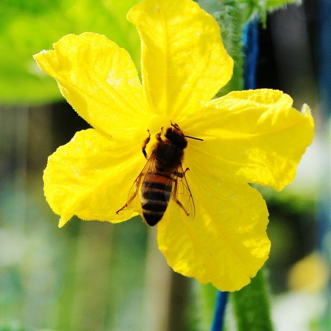 Taking Photos Nature Photography Eyeemphotography Summer EyeEm Nature Lover Photography Belarus Flowers Bee Cucumberflower