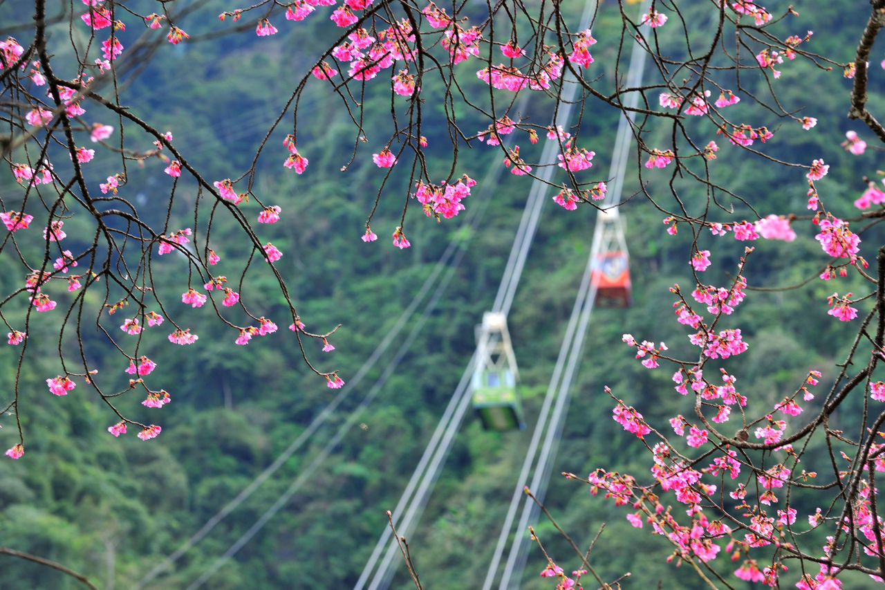 Beauty In Nature Cable Car Cherry Blossoms Close-up Comfortable Day Flower Freshness Go Sightseeing Growth Hanging High Altitude Holiday Landscape Nature No People Outdoors Pink Plant Taiwan Tourism Transport Travel Tree Vacation