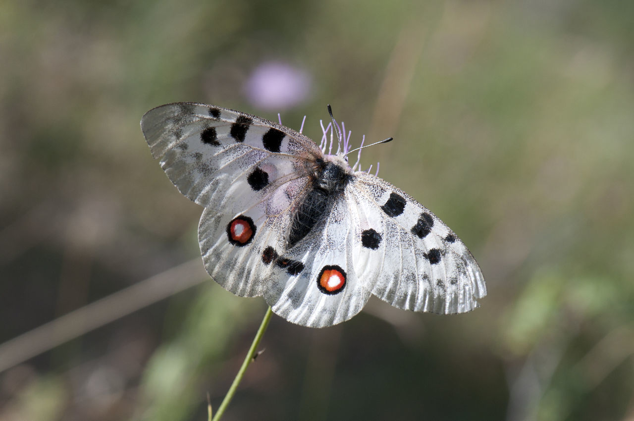 Animal Markings Animal Themes Animal Wildlife Animals In The Wild Apollo Beauty In Nature Butterfly Butterfly - Insect Close-up Day Flower Focus On Foreground Fragility Insect Nature No People One Animal Outdoors Parnassius Apollo Perching Plant Pollination