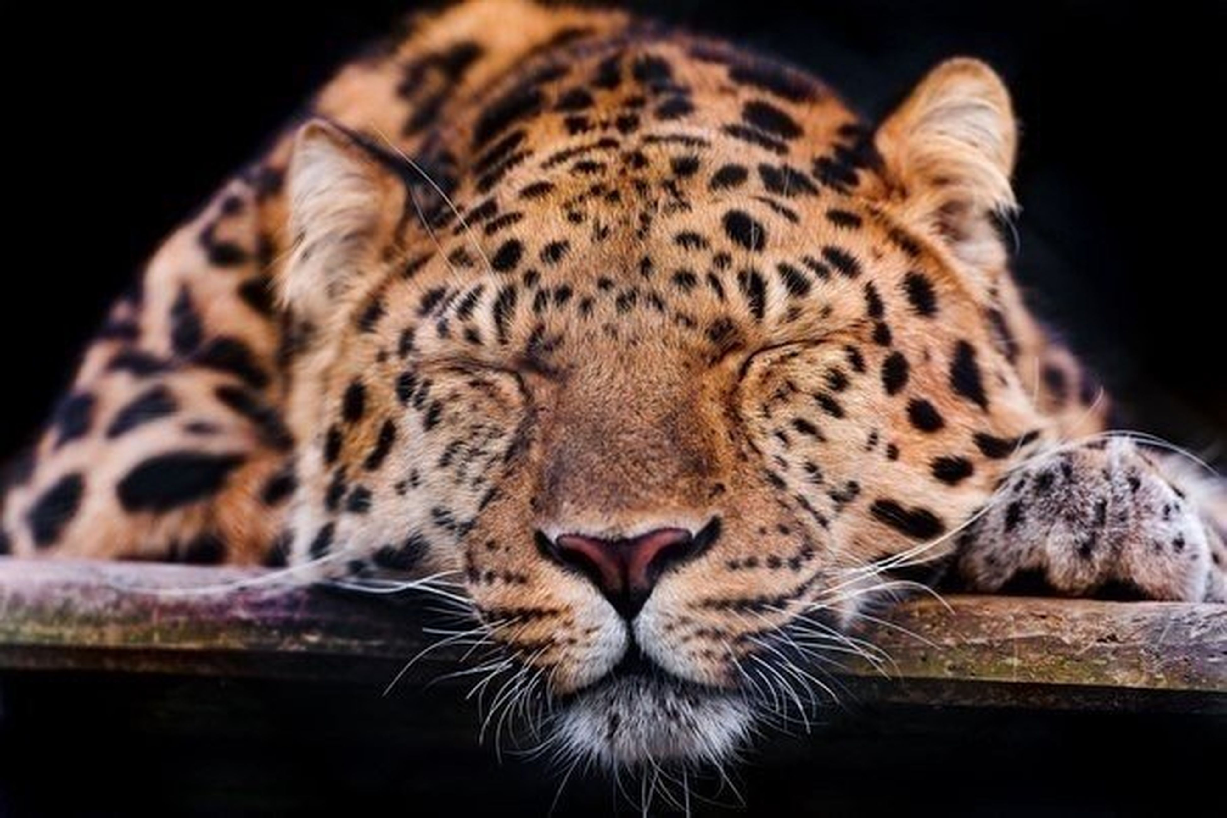 animal themes, one animal, mammal, feline, whisker, tiger, animal markings, domestic cat, close-up, cat, animals in the wild, wildlife, animal head, relaxation, natural pattern, lying down, big cat, resting, indoors, safari animals