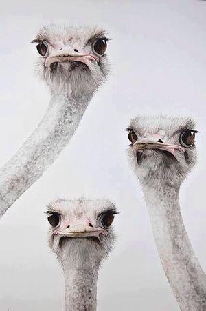 Hi! Hello World Ostrich Innocent